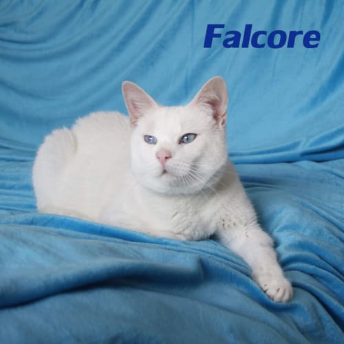 Falcore - Domestic Short Hair Cat