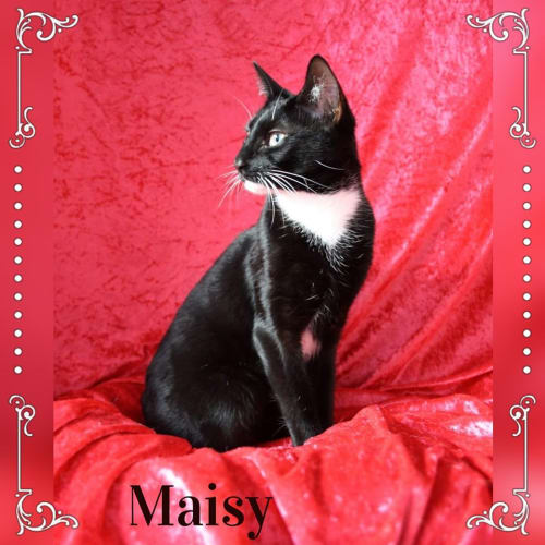 Maisy Moo - Domestic Short Hair Cat