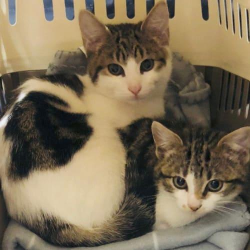 Rupert & Louie - Domestic Short Hair Cat