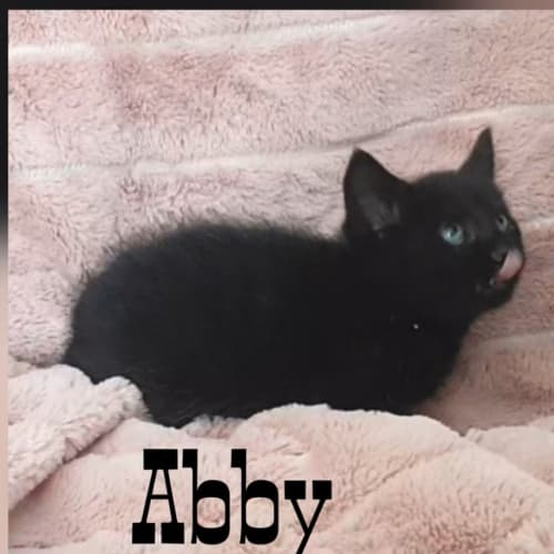 Abby - Domestic Medium Hair Cat