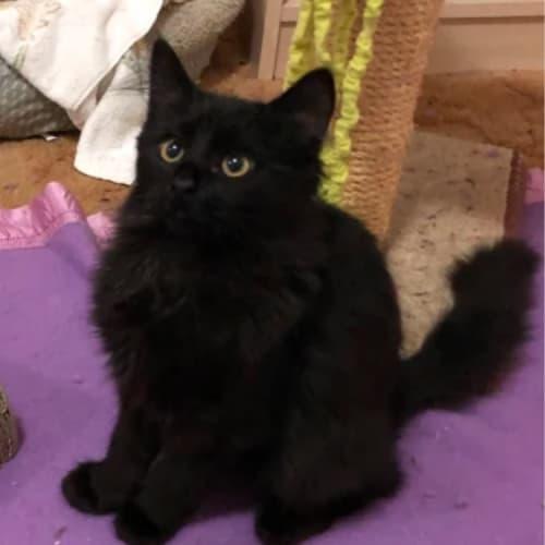 Phantom (Viewbank) - Domestic Medium Hair Cat