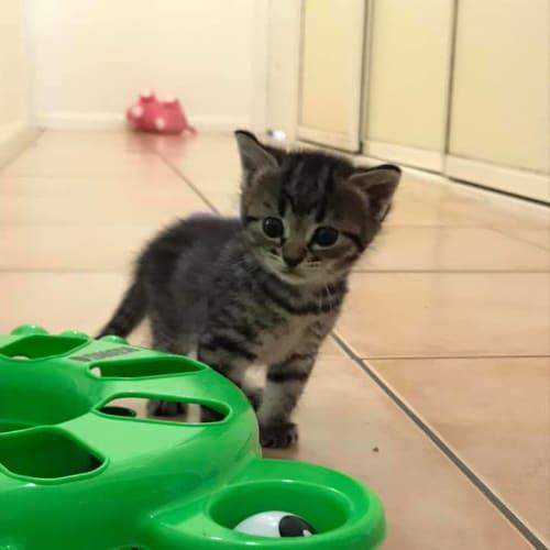 Tikka - Domestic Short Hair Cat