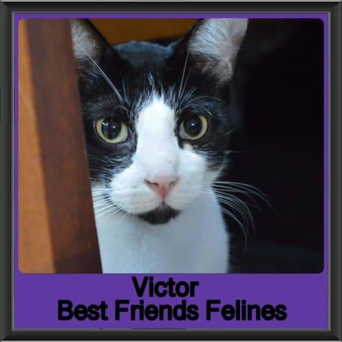Victor - Domestic Short Hair Cat