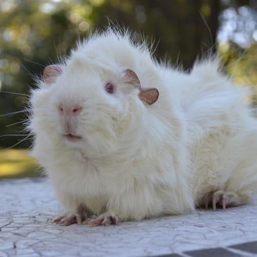 Alistair -  Guinea Pig