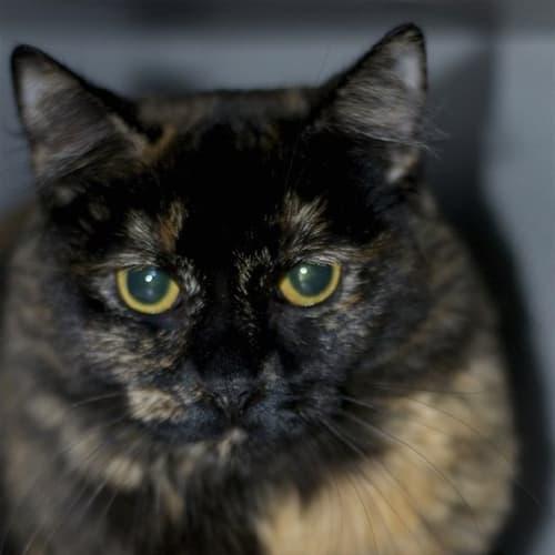 Meryl - Domestic Medium Hair Cat
