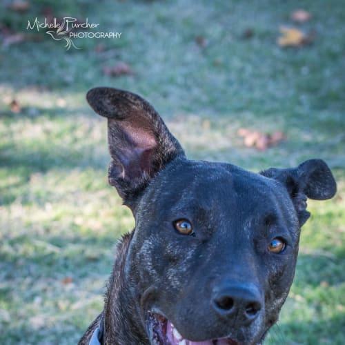 Buddy - American Staffordshire Bull Terrier Dog