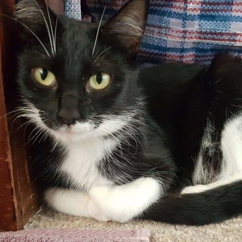 Lyra - Domestic Short Hair Cat