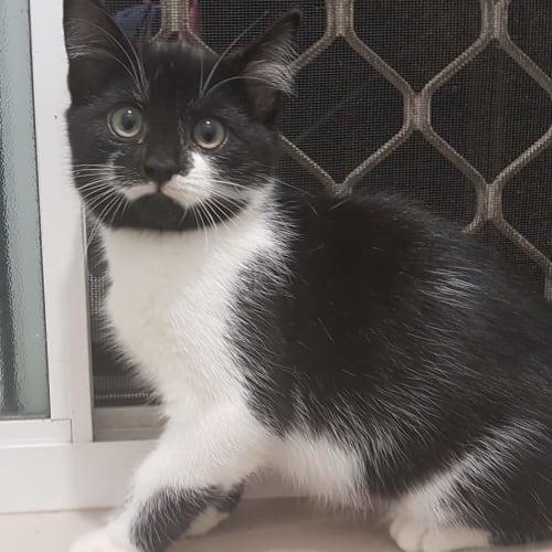 Stitch - Domestic Short Hair Cat