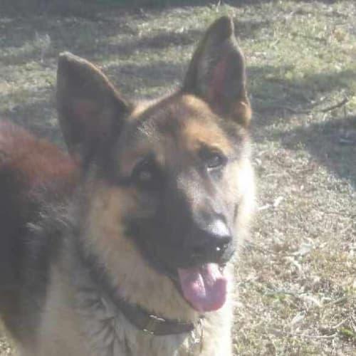 Sheru - German Shepherd Dog