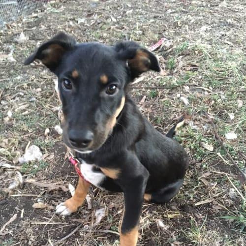 Sienna - Kelpie Dog