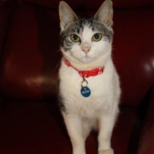 Nessie - Domestic Short Hair Cat