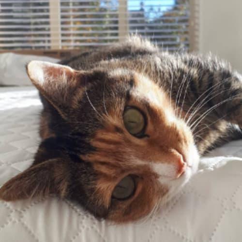 Josefina (Located in St Kilda Rd Melbourne) - Domestic Short Hair Cat