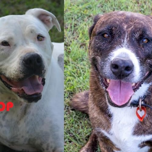 Snoop & Jazzy - Johnson Bulldog x American Staffordshire Terrier Dog