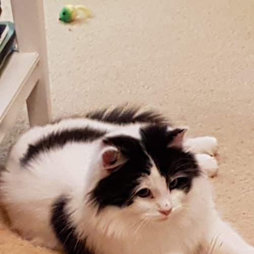 Kitty Kat - Domestic Medium Hair Cat