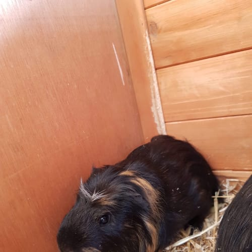 Chili and Chowder - Crested Guinea Pig