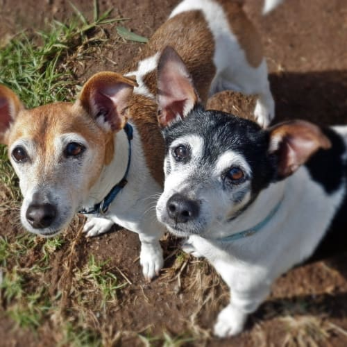 Ruby and Lily - Jack Russell Terrier Dog