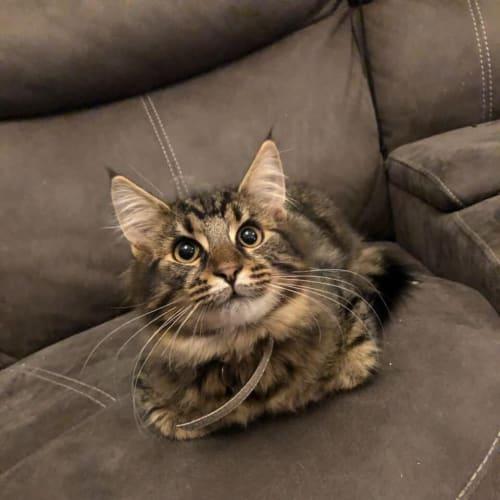 Simba - Domestic Medium Hair Cat