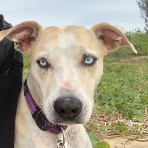 Sasha - Catahoula Dog
