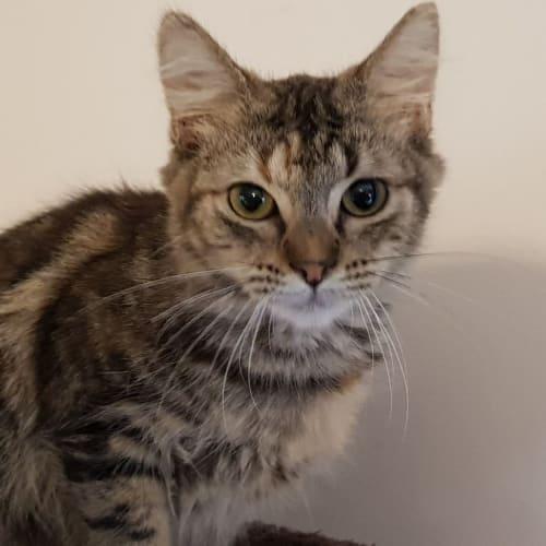 Pryde - Domestic Medium Hair Cat