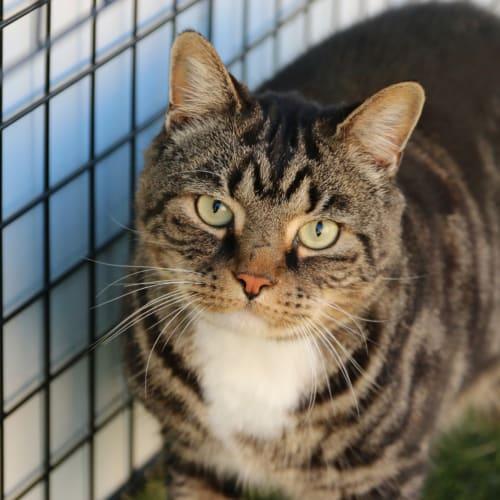 Mick - Domestic Short Hair Cat