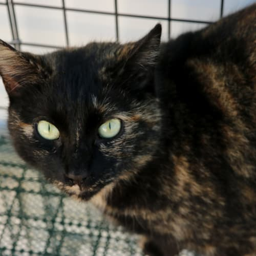 Shelly - Domestic Short Hair Cat