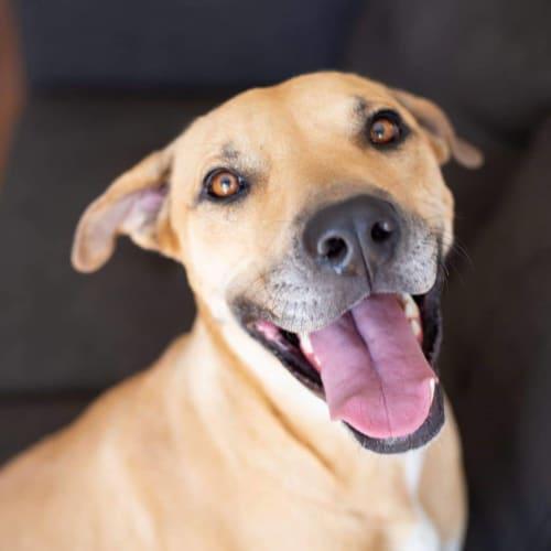 Princess - Rhodesian Ridgeback Dog
