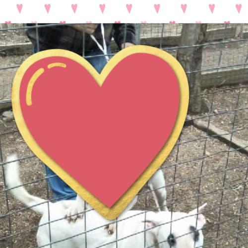 Emmy - foster carer needed - Bull Terrier Dog