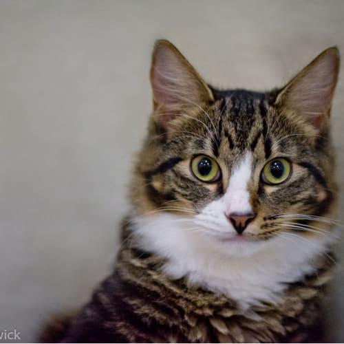 Albie - Domestic Medium Hair Cat