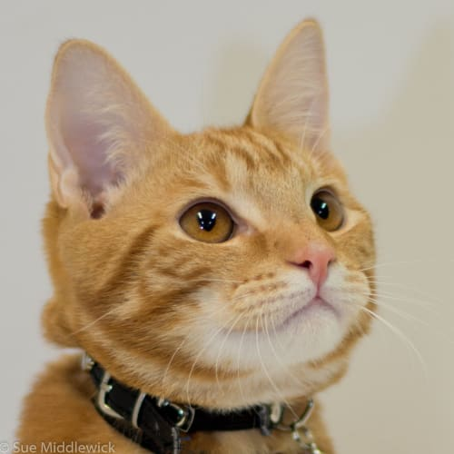 Eddie - Visit Me at PetStock Balcatta! - Domestic Short Hair Cat