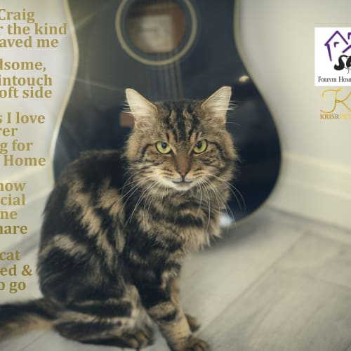 ***Craig*** - Domestic Medium Hair Cat