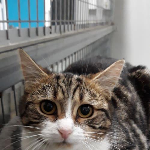 Clark - Domestic Short Hair Cat
