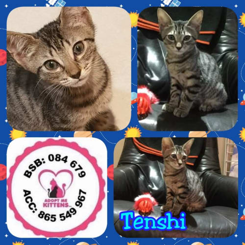Tenshi - Domestic Short Hair Cat