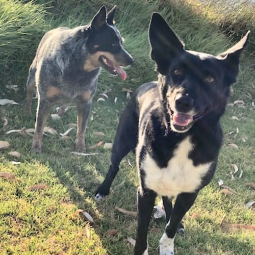 Bruce (& Dougie) - Kelpie Dog