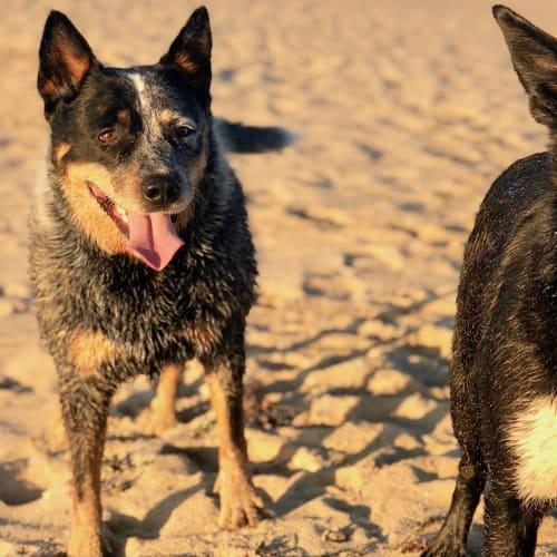 Dougie (& Bruce) - Blue Heeler Dog