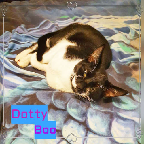 Dotty Boo - Domestic Short Hair Cat
