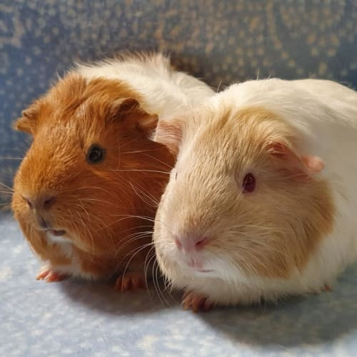 Aurora and Alexis -  Guinea Pig