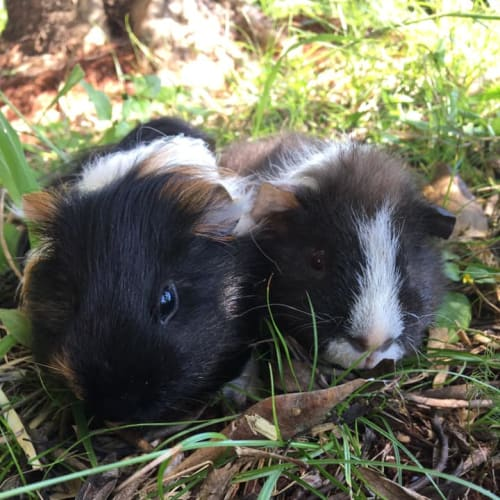 Archie and Alex (white nose) - Abyssinian Guinea Pig