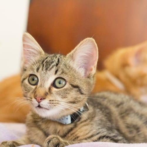 Spice - Domestic Short Hair Cat