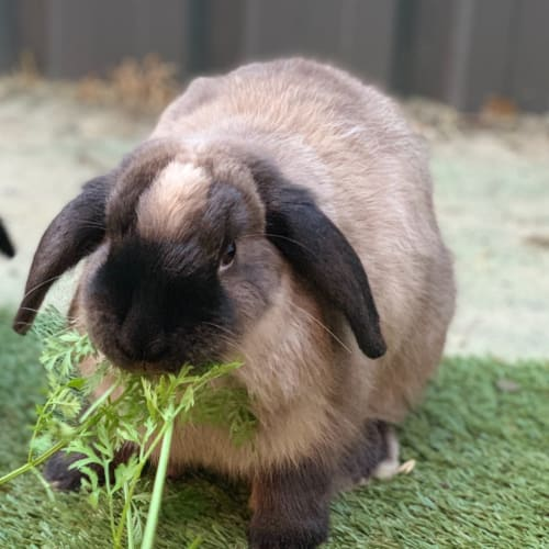 Newman! - Domestic Rabbit