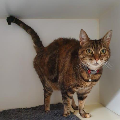 McGonagall - Domestic Short Hair Cat