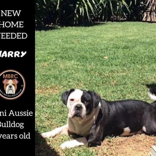 Harry - Australian Bulldog