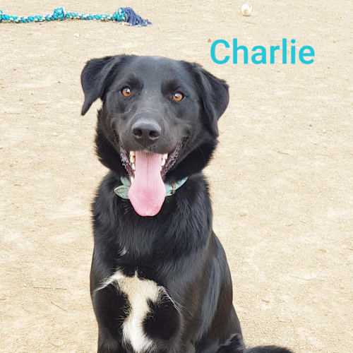 Charlie (1322019) - Border Collie x Maremma Sheepdog