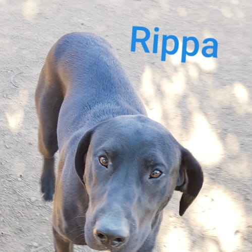 Rippa (1162019) - Bull Terrier x Great Dane x Labrador Dog