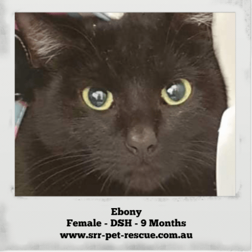 Ebony - Domestic Short Hair Cat