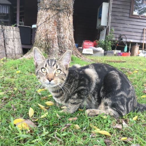 Uno - Domestic Short Hair Cat