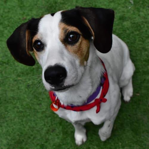 Bronte - Beagle x Border Collie Dog