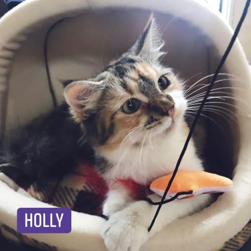 Holly, Ivy & Jingle - Ragdoll Cat