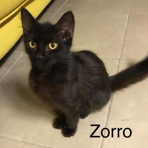 Zorro - Domestic Short Hair Cat