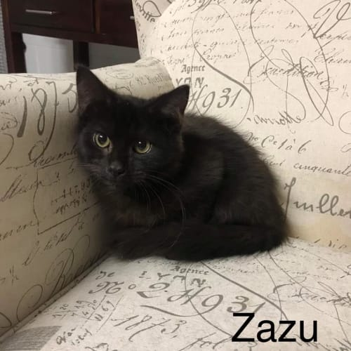 Zazu - Domestic Short Hair Cat