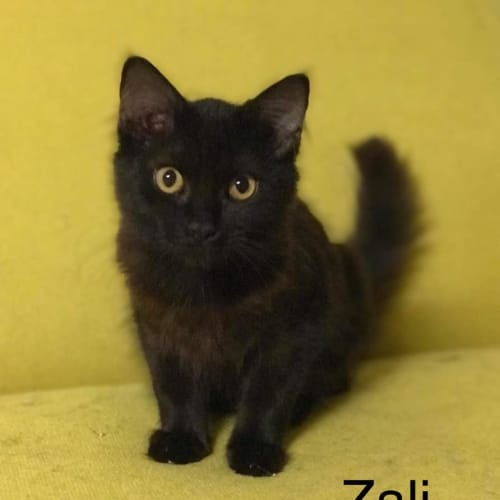 Zali - Domestic Short Hair Cat